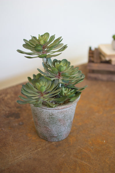 Set Of 2 Large Zwartkop Succulents In A Pot