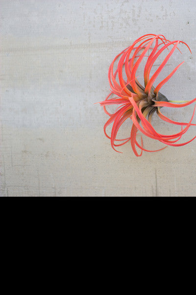 "Set Of 6 10"" Flocking Red Airplants"