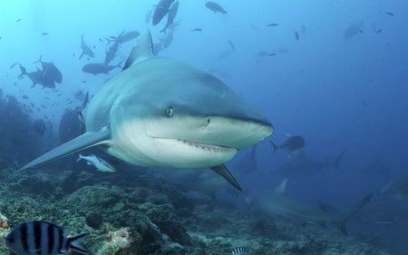 How to survive an encounter with the most abundant & aggressive shark family