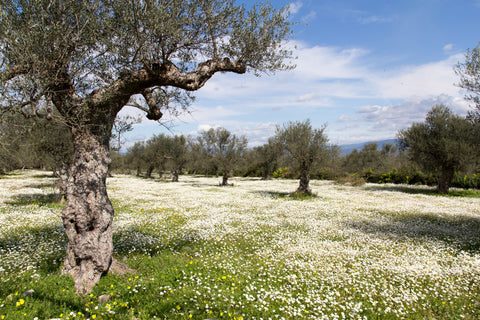 Olive Trees with Spring Wildflowers on Canvas