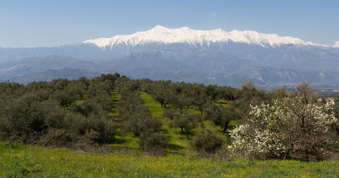 Valley of Olive Trees with Mountain Backdrop on Canvas
