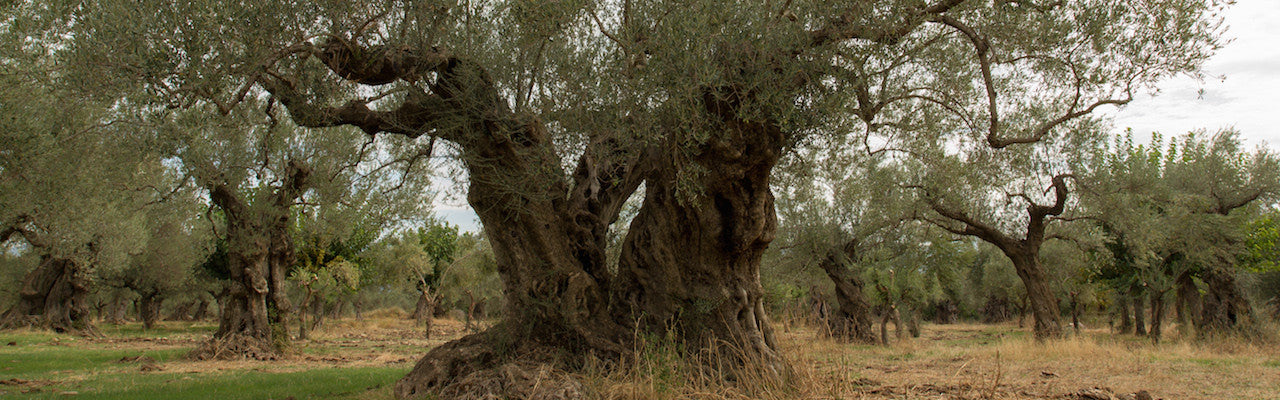 Spartan Oil Premium Extra Virgin Olive Oil trees are over 700 years old