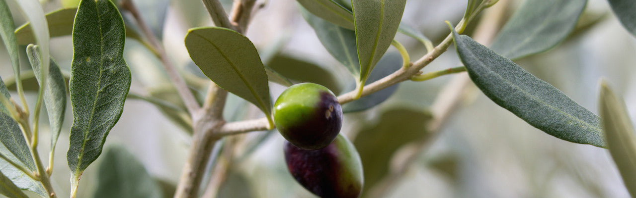 Spartan Oil Premium Extra Virgin Olive Oil olives
