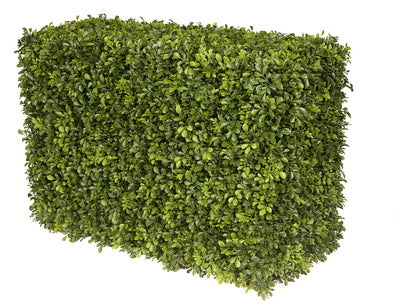 JAPANESE BOXWOOD HEDGE 21""
