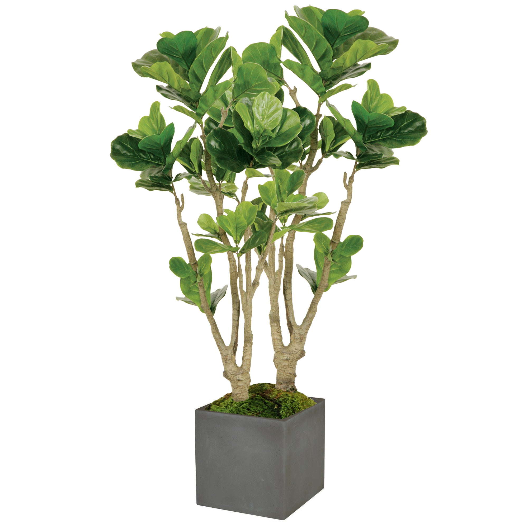 FIDDLE LEAF FIG TREE IN SQUARE PLANTER 4.5'