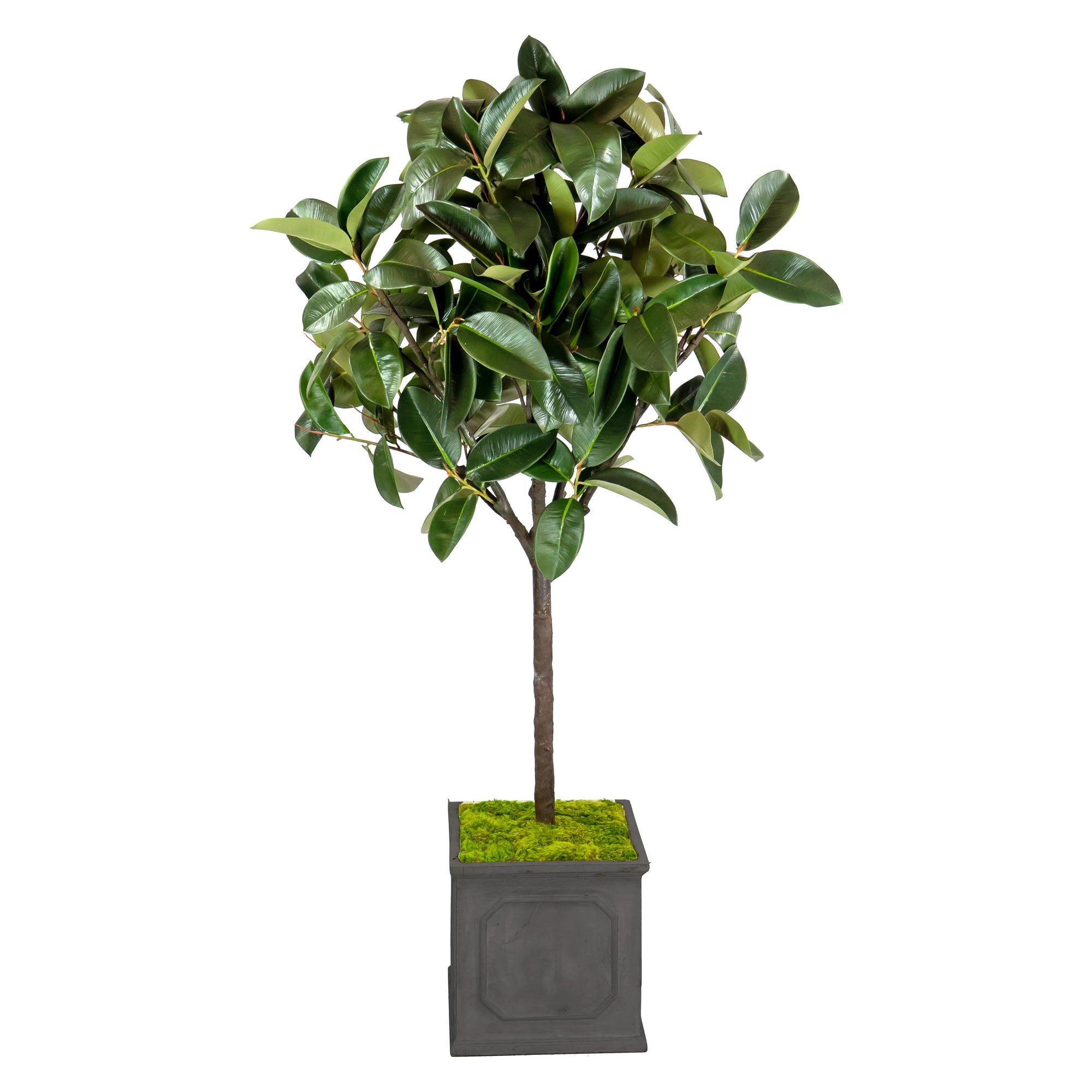 RUBBER TREE IN PLANTER 6""