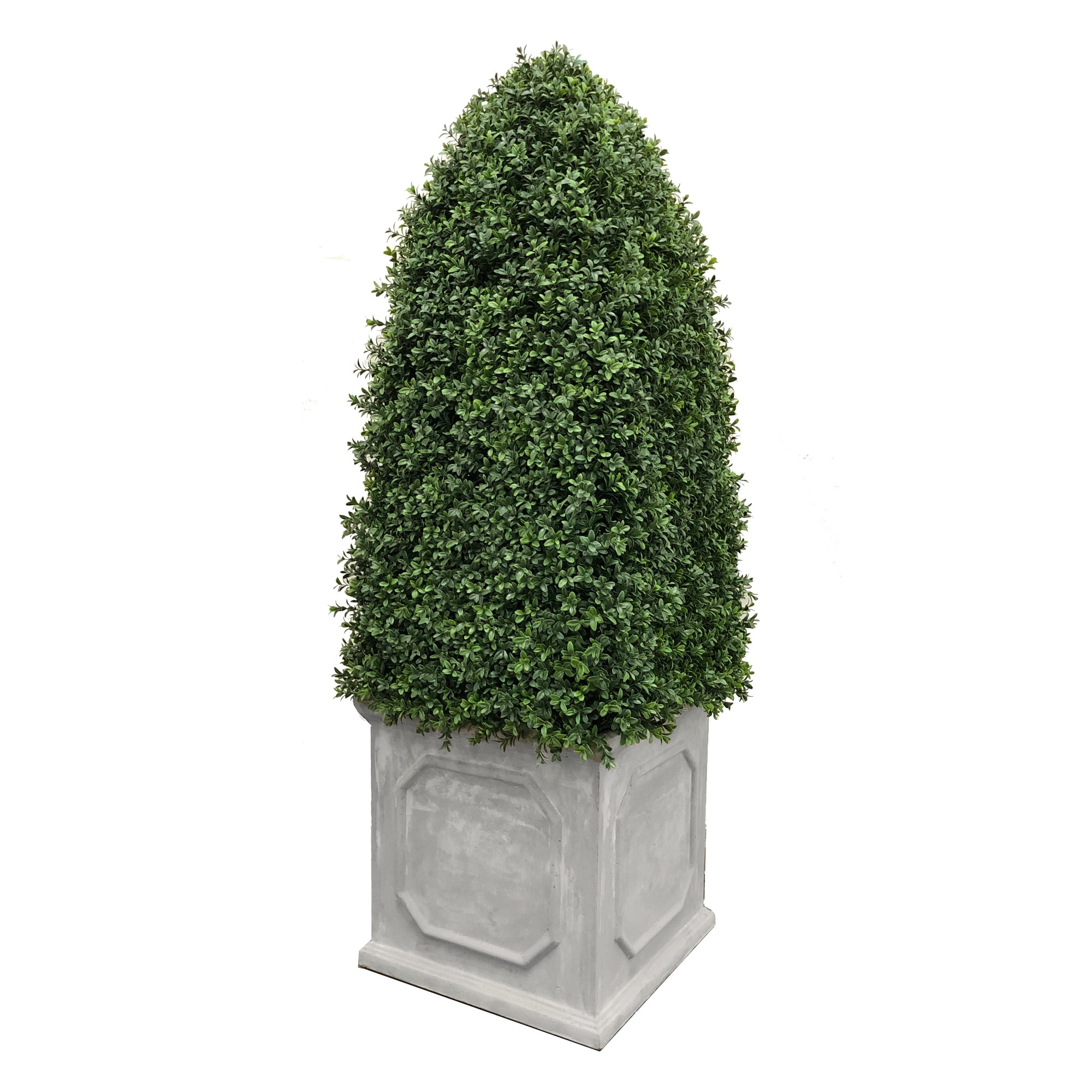 BULLET BOXWOOD IN PLANTER 5'