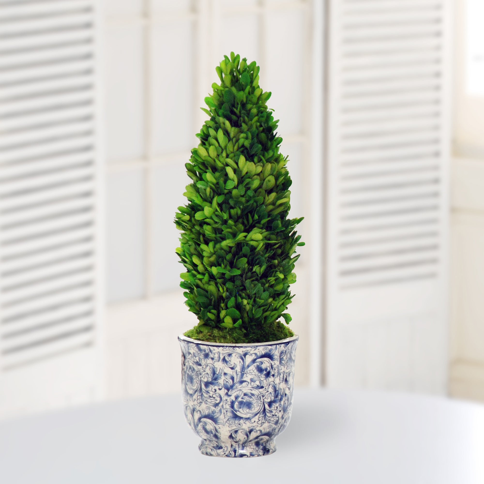Preserved cone boxwood in chinoiserie pot