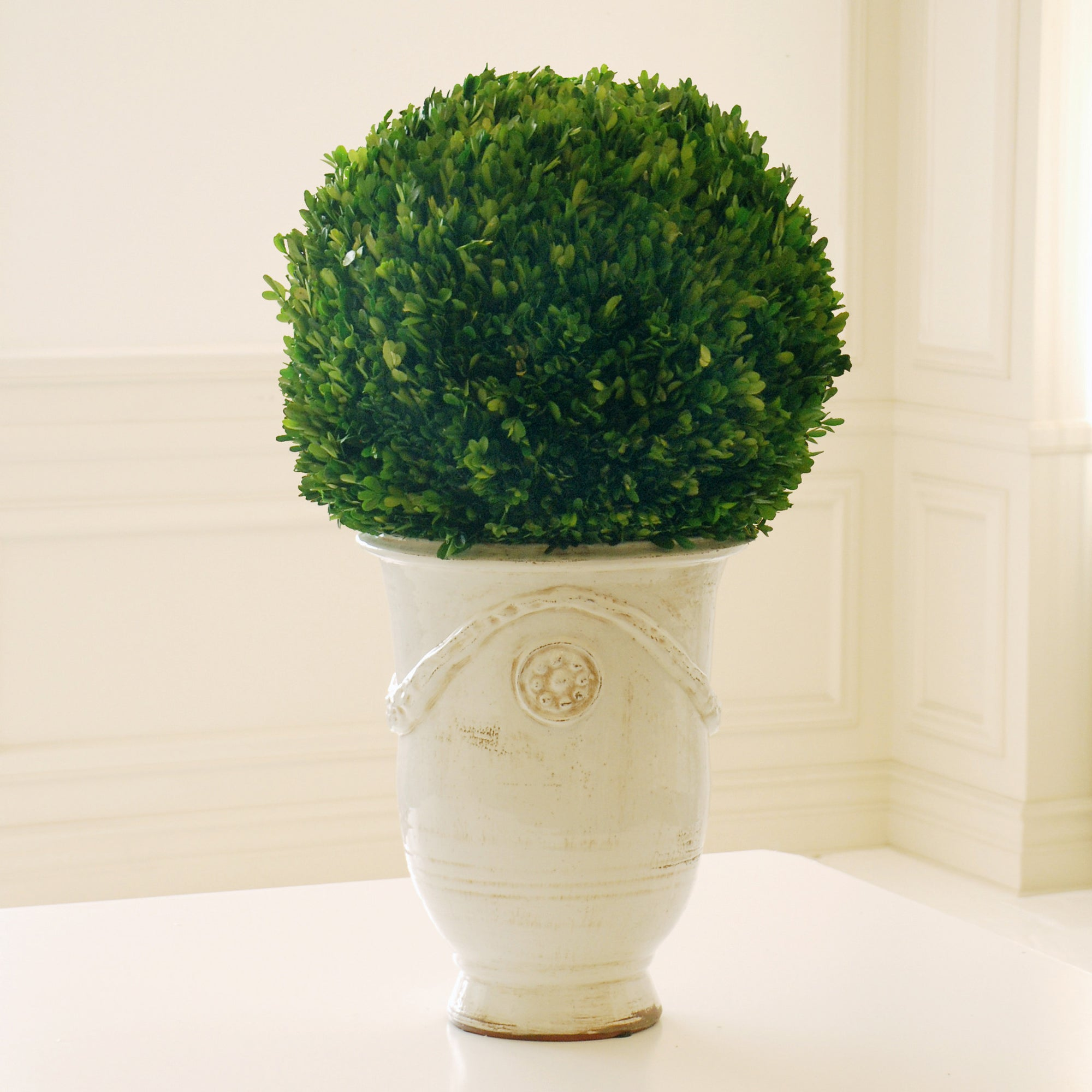 Preserved boxwood topiary in tuscan urn