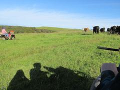 Photo of riding four wheel motorbikes and moving cattle