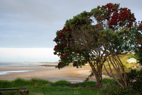 Photo of a Pohutukawa at Ninety Mile Beach