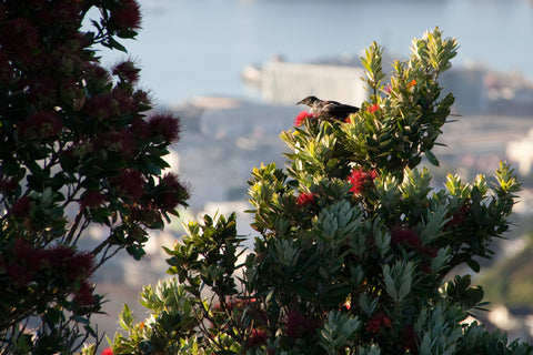Photo of a Tui and a Pohutukawa in Wellington, NZ