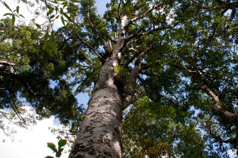 Photo of a Kauri Tree in the Waipoua Forest, Northland