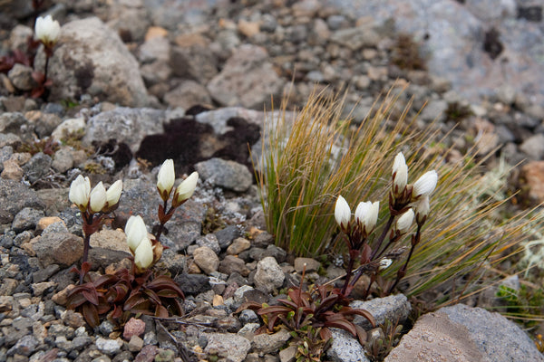 Photo of a White Gentian, Tongariro National Park, New Zealand