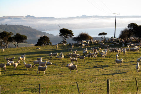 Photo of Sheep on a New Zealand farm