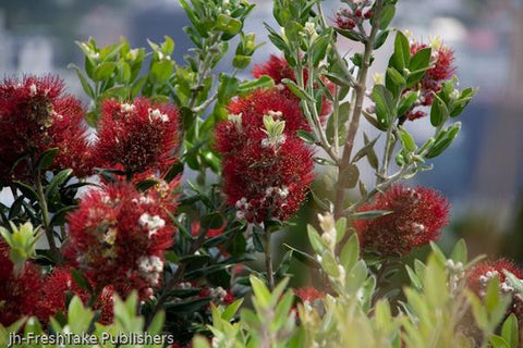 Greeting card NZ - photo of a Pohutukawa flower