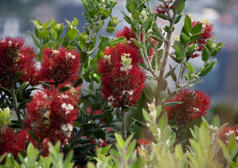 Photo of a Pohutukawa at Wellington, New Zealand
