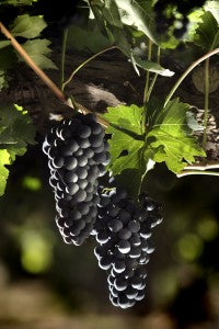 Grape Variety Profile - Malbec