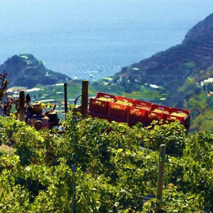 Vineyards planted on steep slopes above the ocean in Campania, Italy