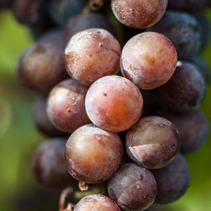 Pinot Noirs of the World