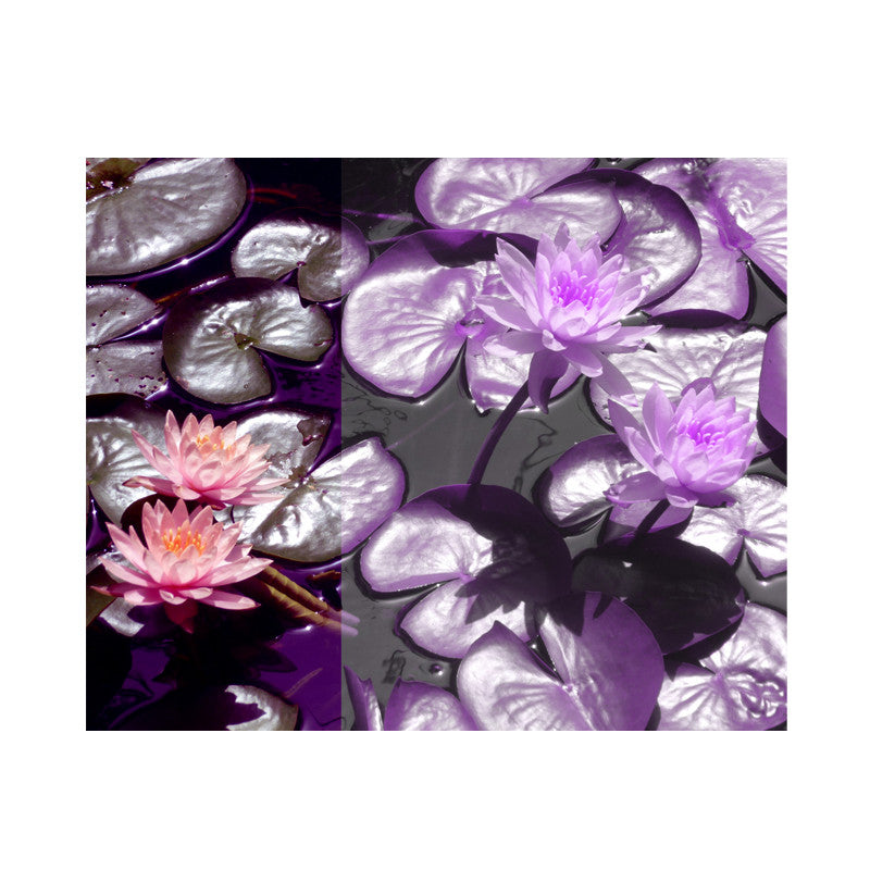 Leaf Designs Purple Lotus Poster