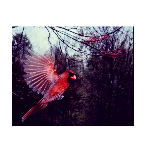 Leaf Designs Coral Flying Bird Poster
