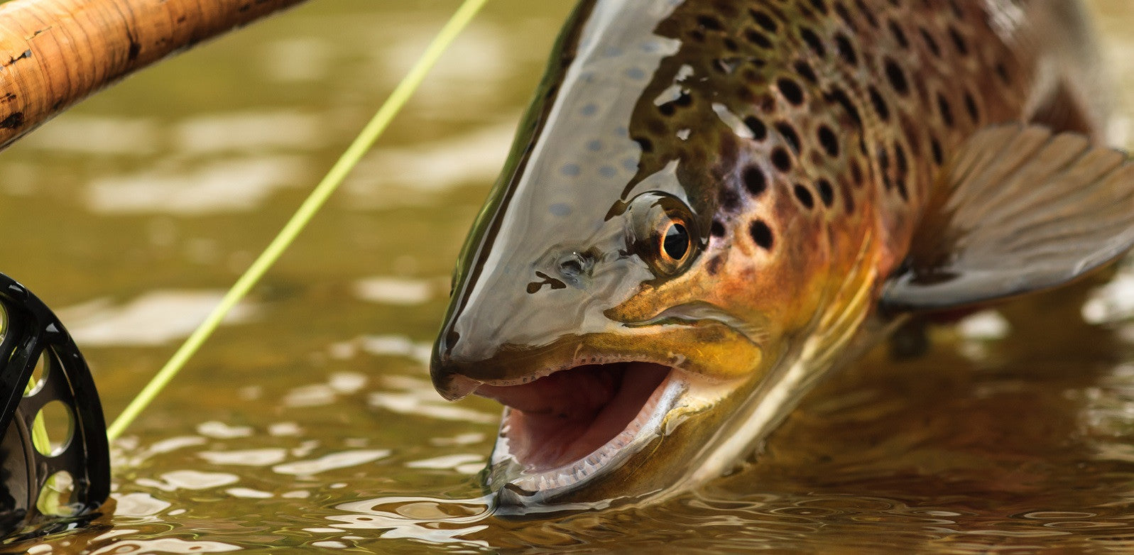 Brown Trout with Fly Rod