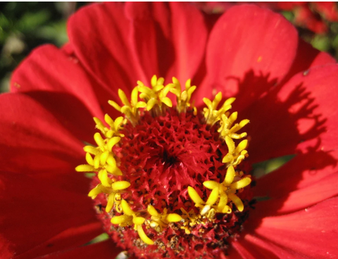 Zinnia Gift Organic Seeds - Art Seed Packs