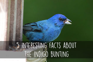 5-interesting-facts-about-the-indigo-bunting
