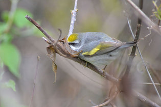 golden-winged-warbler