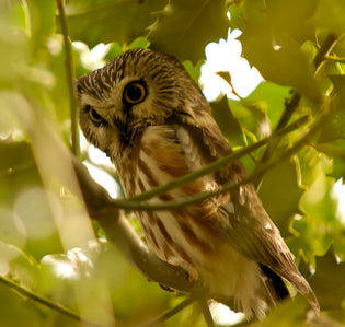 northern-saw-whet-owl