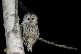 owl-at-night