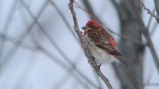 purple-finch-perched