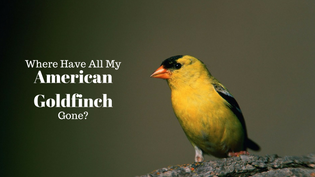 american-goldfinch-in-summer