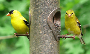 american-goldfinch-on-feeer