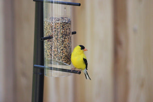 american-goldfinch-feeding
