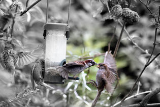 birds-fighting-at-feeder