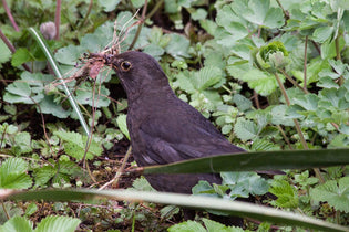 blackbird-building-a-nest