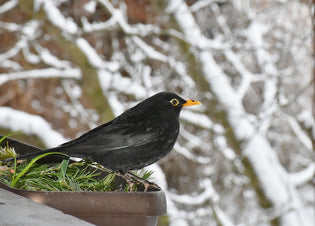 blackbird-in-winter