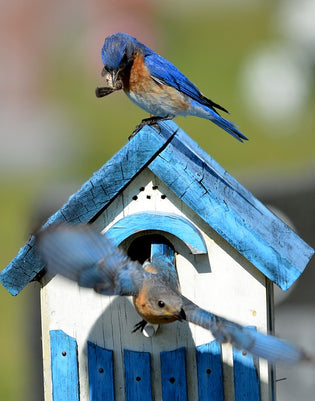 eastern-bluebird-on-bluebird-house