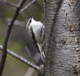 brown-creeper-on-trunk-of-tree