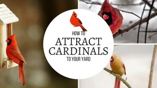 how-to-attract-cardinals
