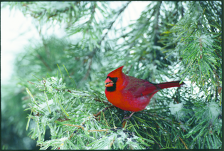 cardinal-in-winter