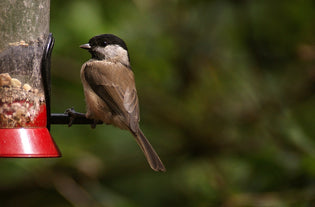 chickadee-eating-from-feeder