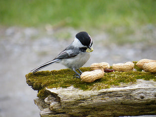 chickadee-weird-behaviour