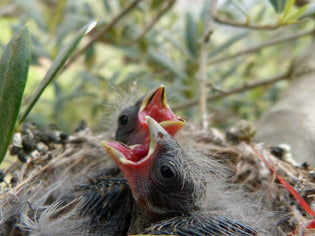 chicks-after-hatching