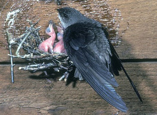 chimney-swift-with-young