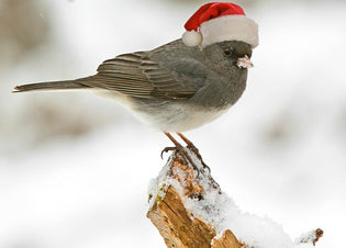 Christmas-bird-count
