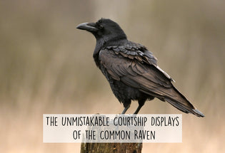 common-raven-courtship-display