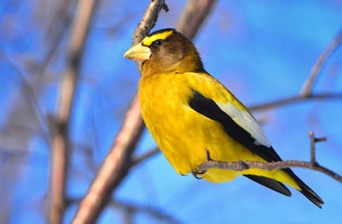 A Brief History of the Evening Grosbeak